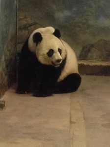 {photo: giant panda curled up in a corner, looking adorable}